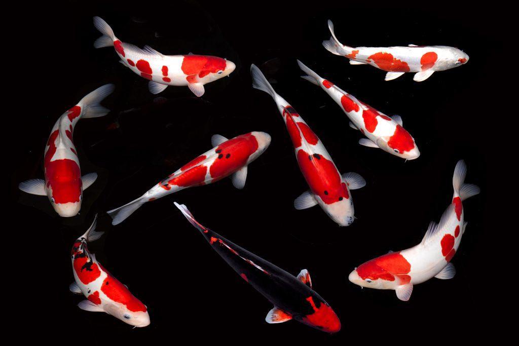 8 koi carps +1 black by Lea Minshull