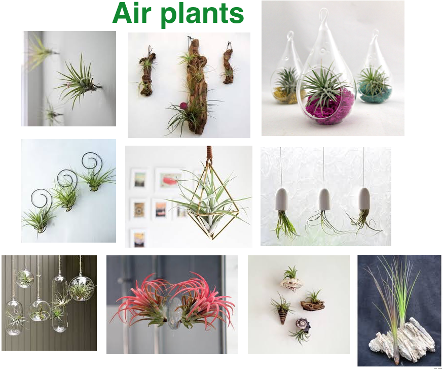 Air plants to boost feng shui in your home and workplace