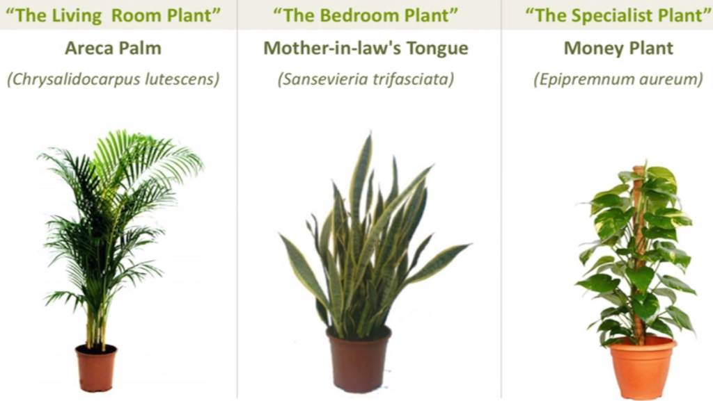Top air cleansing plants: areca palm, mother-in-law's tongue and money plant