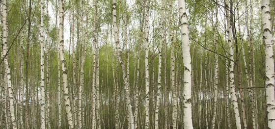 Birch water from birth trees