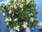 Jade /money plant/ feng shui plant