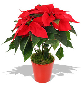 Poinsettia plants can enhance feng shui of your home and office