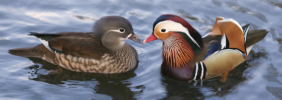 Traditionally, in feng shui mandarin ducks are used as symbols of love