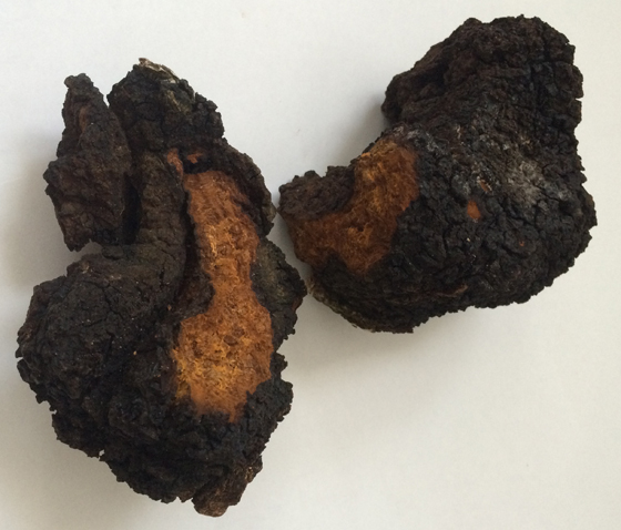 Chaga mushroom broken in half to reveal how it looks inside