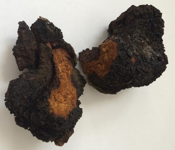 Chaga mushroom broken in half to reveal how it looks inside