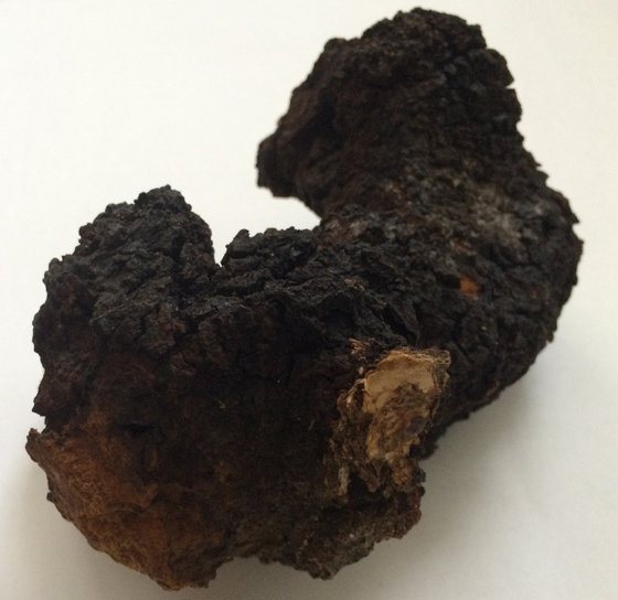 My first chaga mushroom - harvested on 3 Feb 2014