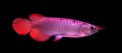 Arowana Lucky Feng Shui Fish Feng Shui London Uk The Capital