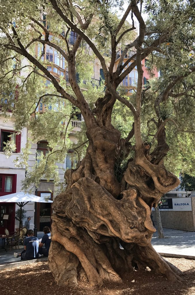 Olive tree in Palma de Mallorca
