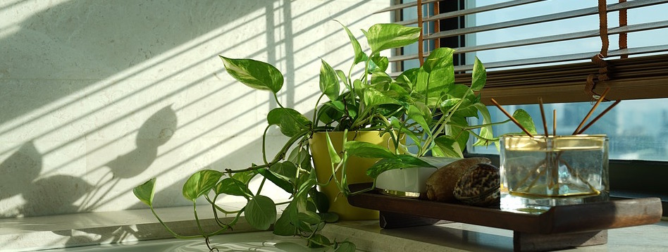 Indian money plant and air cleansing plant