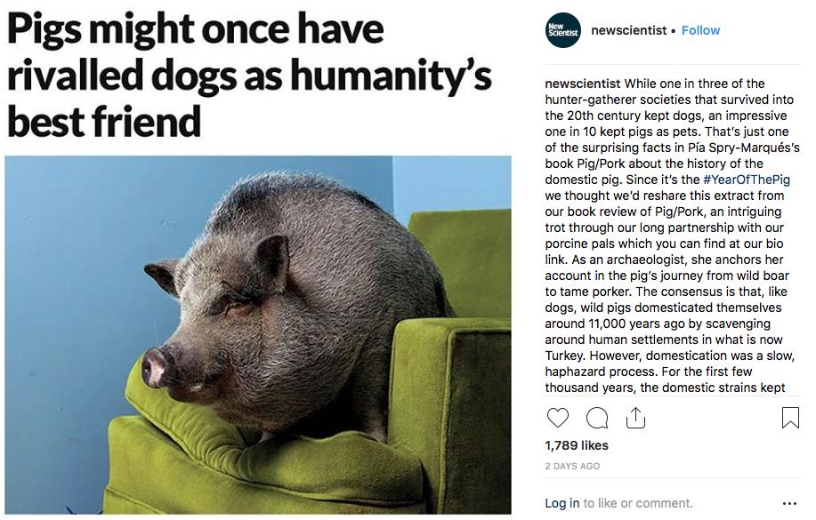 Pigs - humans' best friends