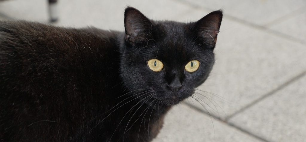 Black pussycat