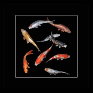 Feng shui fish: koi carps 3D photo – for prosperity and luck